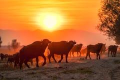 Wasserbüffel, der bei Sonnenuntergang nahe bei dem Fluss Strymon weiden lässt Lizenzfreie Stockbilder