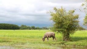 Wasserbüffel, der Gras auf dem Reisgebiet isst stock video