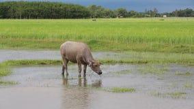 Wasserbüffel, der Gras auf dem Reisgebiet isst stock video footage