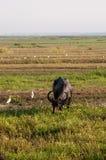 Wasserbüffel, der Gras auf einem Gebiet isst Stockbilder