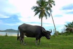 Wasserbüffel durch das Meer Stockfotos