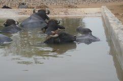 Wasserbüffel im Pool, Lima, Peru Lizenzfreie Stockfotos