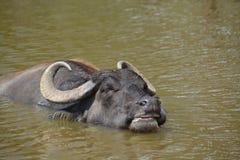 Wasserbüffel im Teich Lizenzfreies Stockbild
