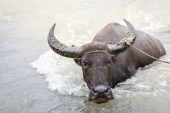 Wasserbüffel - Kerabau im Fluss Stockbilder