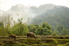 Wasserbüffel lassen auf Reisterrassen weiden stockbilder