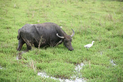 Wasserbüffel und -reiher Lizenzfreie Stockfotos