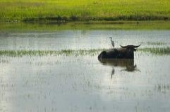 Wasserbüffel und weißer Reiher Lizenzfreie Stockbilder