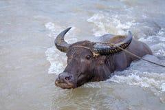 Wasserbüffelkerabau in dem Fluss Stockfotos