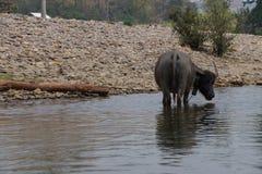 Wasserbüffelstellung Stockfoto