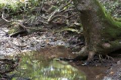 Wasserbecken mit Baumwurzeln stockbild