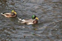 Wasserbratenfett von einer Stockente, wie er in einem Teich schwimmt lizenzfreies stockfoto