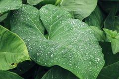 Wasserbrotwurzelblatt Stockbild