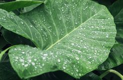 Wasserbrotwurzelblatt Stockfoto