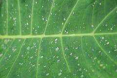 Wasserbrotwurzelblatt Lizenzfreies Stockfoto
