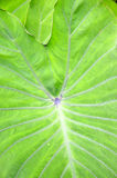 Wasserbrotwurzelblatt Stockfotografie