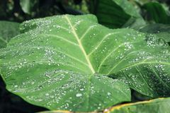 Wasserbrotwurzelblatt, Tautropfen Stockfoto