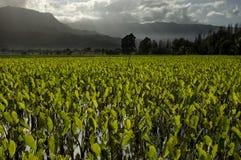 Wasserbrotwurzelfelder. Lizenzfreie Stockfotos
