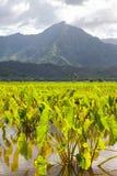 Wasserbrotwurzelfelder, Berge, Regenwolken, Tropeninsel Stockbild