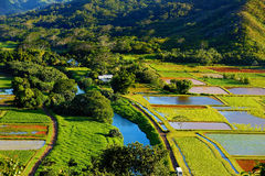 Wasserbrotwurzelfelder in schönem Hanalei-Tal Stockfotografie