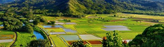 Wasserbrotwurzelfelder in schönem Hanalei-Tal auf Kauai Lizenzfreies Stockfoto