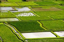 Wasserbrotwurzelreisfelder stockbild