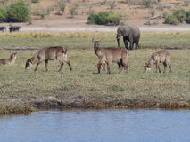 Wasserdollar an Nationalpark Chobe stockfoto