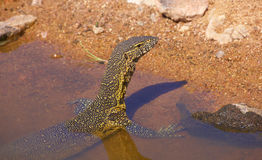 Wasserdrache in Südafrika Stockbild