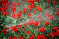 Wasserdusche über roten Tulpenblumen Stockbilder