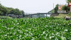 Wasserhyazinthe auf Kanal Stockfotografie