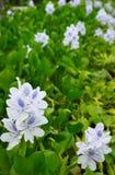Wasserhyazinthe (Eichhornia crassipes) lizenzfreies stockbild