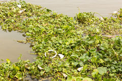 Wasserhyazinthe im Fluss Stockfotos