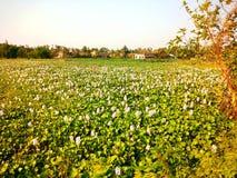 Wasserhyazinthe im Teich mit weißen Flötenblumen stockbild