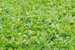 Wasserhyazinthengrün, Hintergrundbeschaffenheit Stockfotografie