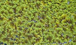 Wasserkopfsalat. Stockbild