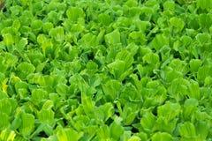 Wasserkopfsalat Lizenzfreies Stockfoto