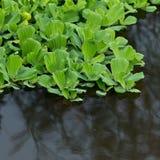 Wasserkopfsalat, Anlage Lizenzfreies Stockfoto