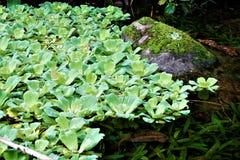 Wasserkopfsalat beschmutzt auf einem See in den geheimen Gärten stockbilder