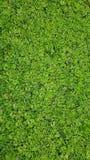Wasserkopfsalatanlagen im Teich in Vietnam Stockfotos
