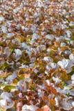 Wasserkultur- und organisches Kopfsalatsalatgemüse Lizenzfreie Stockfotos