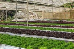 Wasserkultur- und organisches Kopfsalatsalatgemüse Lizenzfreies Stockfoto