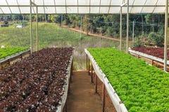 Wasserkultur- und organisches Kopfsalatsalatgemüse Stockfotos