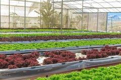 Wasserkultur- und organisches Kopfsalatsalatgemüse Stockfoto