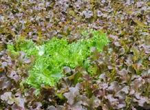 Wasserkulturblattkopfsalatplantage Stockfotos