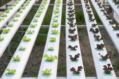 Wasserkulturgemüse Stockbild