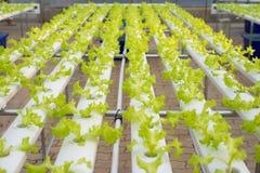 Wasserkulturkopfsalatbauernhof im grünen Haus Lizenzfreie Stockfotos