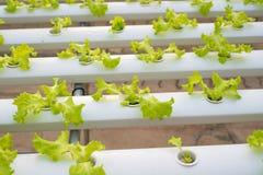 Wasserkulturkopfsalatbauernhof im grünen Haus Stockfoto