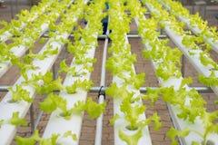 Wasserkulturkopfsalatbauernhof im grünen Haus Stockbild