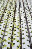 Wasserkulturkopfsalatbauernhof im grünen Haus Lizenzfreies Stockbild