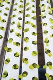 Wasserkulturkopfsalatbauernhof im grünen Haus Lizenzfreie Stockfotografie