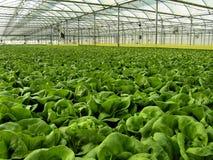 Wasserkulturkopfsalate Stockfotografie